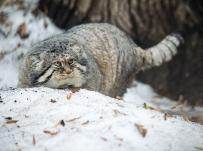 Манул удивился снегу